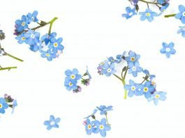 forget me not flowers on a snow white background
